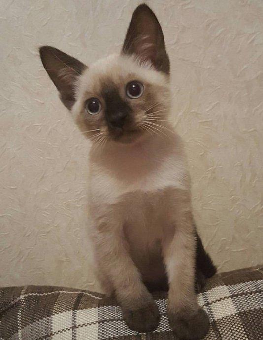 Кот Denisella